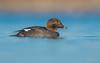 Common Goldeneye ( Female) (salmoteb@rogers.com) Tags: bird wild outdoor nature wildlife common goldeneye female duck toronto ontario canada water pond lake