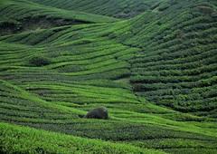 tea plantation (7) (SM Tham) Tags: asia southeastasia malaysia pahang cameronhighlands sungaipalas boh tea estate plantation shrubs plants rock zengarden green landscape lines undulating waves