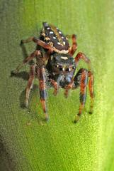 Dendryphantes sp (Alvaro_L) Tags: spider araña salticidae jumpingspider arañasaltadora metalicspider eyes arachnida arthropod artópodo dendryphantes