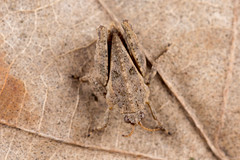 Tetrix sp. (NakaRB) Tags: insecta orthoptera tetrigidae tetrix 2015