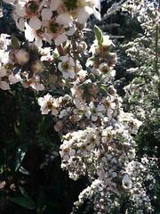 Leptospermum lanigerum (sftrajan) Tags: leptospermumlanigerum myrtaceae woollyteatree sanfranciscobotanicalgarden jardinbotanique spring primavera goldengatepark strybingarboretum australianplants botanicgarden jardimbotânico jardínbotánico botanischergarten ботаническийсад printemps