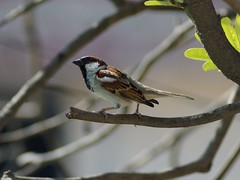 Just a sparrow (hasham2) Tags: bird wildlife animal vintage manual lens russian jupiter 21m sony nex6