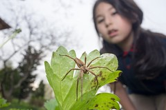 Nursery web spider (guraydere) Tags: nursery web spider macro wideanglemacro