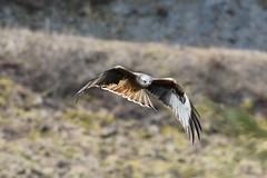 Red kite wings and tail display (karen leah) Tags: redkite bird birdofprey bwlchnantyrarian ceredigion april spring nature wildlife outdoors flight
