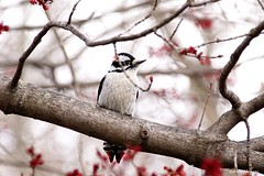 Male Downy Woodpecker (Anne Ahearne) Tags: maple tree blossoms wild bird animal nature wildlife downy woodpecker