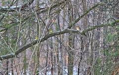 Puzzled Birds... (Steve InMichigan) Tags: autosears135mmf28tokinalens fotasym42eflensadapter yellowfinch northerncardinal birds winterscene