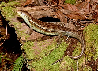 Major Skink (Bellatorias frerei)