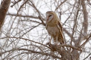 Barn Owl, Effraie des clochers (Tyto alba affinis) - Réserve de Faune de Ouadi Rimé et Ouadi Achim (RFOROA), CHAD