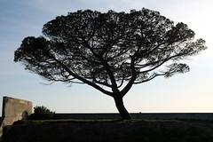 arbre_0003_alain_leveque (alain leveque) Tags: pin parasol ombre dark tree shadow