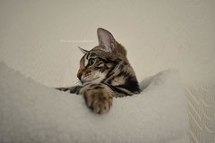 Leo the Bengal (lucyrogersphotography) Tags: littleleo leo leothebengal bengal bengalcat kitten cat bengalkitten pedigree cutie cats pet