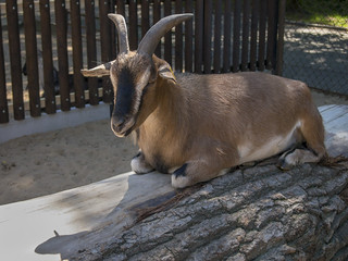 Goat resting on the wood block