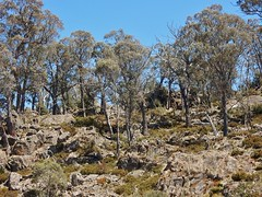 Trees on Rocky Slope (mikecogh) Tags: miena rocky slope trees hardy barren