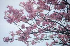 Yokohama Scarlet Sakura / 横浜緋桜 (kasa51) Tags: sakura cherryblossom tree blossom earlyblooming yokohama japan 横浜緋桜