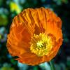 ATL Botanical Gardens @ Gainesville, GA (2125) (jim fleckenstein) Tags: cropped poppy icelandicpoppy orange hot colorful bright atlantabotanicalgarden gainesvillega paper vibrant canon eos 70d flora