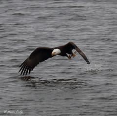 Gotcha (billbigfish) Tags: eagle baldeagle ngc birdofprey raptor birdwatcher nature wildlife canon 80d tamron wildlifephotography