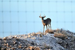Deer in West Texas (Diann Bayes) Tags: deer animals westtexas texas sanangelo nature