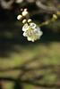 The plum blossoms in Kitano Tenmangu Shinto Shrine 2018/03 No.5. (HIDE@Verdad) Tags: nikon1j5 1nikkor185mmf18 1nikkor ニコン nikon nikkor nikon1 j5