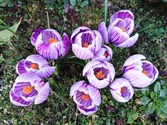 My Flowers! (frederik89) Tags: fiori crocus giardino garden flower flowers viola violet primavera spring mygarden huawey honor7