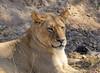 La reina (Txaro Franco) Tags: leona lion female hembra animal salvaje retrato sabana áfrica afrika zimbabwe hwange national park huangenationalpark