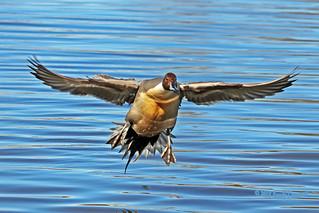 Northern Pintail Drake Flying 18-0311-8088