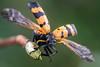 Take off (andre de kesel) Tags: meloidae mylabris blisterbeetle drcongo coleoptera sonya6500 fe2890macrogoss focusstacking zerenestacker gimp stagedinsects