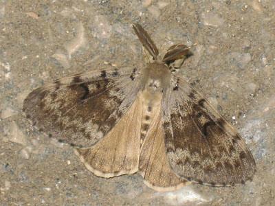 Lymantria dispar ♂ - Gypsy moth (male) - Непарный шелкопряд (самец)