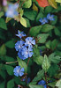 Well Hall Plumbago (Matthew Huntbach) Tags: plumbago wellhall pleasaunce blue flowers fujisuperia200