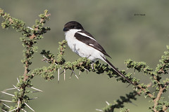 Common Fiscal (featherweight2009) Tags: commonfiscal laniuscollaris fiscals shrikes butcherbirds birds africa