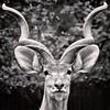 Portrait of a Deer (TheBartels) Tags: zoo deutschland deer fauna wildlife vignette portrait horns ears bokeh monochrome toned splittone getolympus e620 kitlens square stare duisburg germany