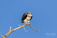 A very serious looking Osprey
