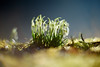 Morning Symphony (matt.kueh) Tags: flower plant blume frühling spring schneeglöckchen snowdrops galanthus vintagelens manualfocus m42 depthoffield bokeh bokehlicious light morning sparkle helios40285mmf15 sonya7ii sonyilce7m2