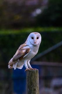 Barn Owl-1-2