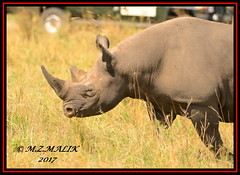 BLACK RHINOCEROS (Diceros bicornis).....MASAI MARA.....SEPT 2017 (M Z Malik) Tags: nikon d800e 400mmf28gedvr kenya africa safari wildlife masaimara keekoroklodge exoticafricanwildlife rhino