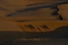 DSC_0790 (rajashekarhk) Tags: shadows lightshade light shade formations sand sanddumes khuhari rajashekar rajastan colours camel hkr nikon morning animal curves