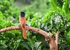 DSC_6481 (Maryna Beliauskaya) Tags: bird ngc nature animal tanzania africa tree bushes