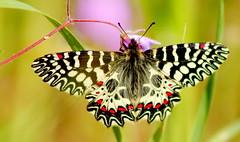 Happy Spring my dear Flickr Friends ! (ᙢᗩᖇᓰᗩ ☼ Xᕮᘉ〇Ụ ...〇∮∮) Tags: butterfly spring frühling natur nature umwelt moments momente schmetterling macro πεταλουδα στιγμεσ ανοιξη φυση χρωματα zerynthiapolyxena osterluzeifalter ecology insect insekt canoneos1100d wings flügel details colors farben χλωριδα πανιδα αγριολουλουδα wildflowers wildeblumen life leben mittelmeer ᙢᗩᖇᓰᗩ☼xᕮᘉ〇ụ physis