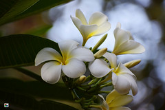 Fresh flowers (Aniruddha1978) Tags: flowers white flower tree plant leaf gree nature clicked india