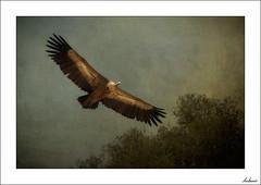 El Señor de los cielos (V- strom) Tags: fauna buitre vulture texturas textures ave pájaro bird encina holmoak árbol tree vuelo flight animal cielo sky vstrom nikon nikond700 nikon70300 plumas plumes naturaleza nature