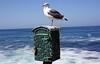 La Jolla - San Diego, CA (SomePhotosTakenByMe) Tags: seagull möwe vogel bird animal tier urlaub vacation holiday usa america amerika unitedstates california kalifornien lajolla sandiego stadt city outdoor ocean ozean meer sea pazifik pacific cost küste
