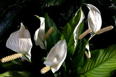 Peace Lilies (Spathiphyllum) for Romeo (peggyhr) Tags: peggyhr white green textures light shadows dedication peacelilies hawaii iphone thegalaxy thegalaxystars thegalaxylevel2 halloffamegallery thelooklevel1red rainbowofnaturelevel1red thelooklevel2yellow whiteinonbetweenwhite rainbowofnaturelevel2orange