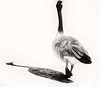 Me and my shadow.... (Southern Darlin') Tags: goose bird shadow art portrait raptor bw black white