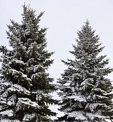 First Day Of Spring (Nate Nickell) Tags: spring march snow winter pinetree pinetrees snowy grandforksnorthdakota grandforks northdakota universityofnorthdakota northdakotalegendary und nd pines