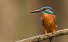 Eisvogel (normen.nikon) Tags: d810 nikon 200500 berlebach manfrotto bird wildlife vogel eisvogel