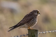 Kestrel (Esox2402) Tags: kestrel wildlife bird post backlit canon7dmkii sigma150600mm