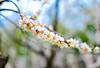 一剪梅(DSC_9268) (nans0410(busy)) Tags: japan okayamaprefecture plumflower bokeh 日本 岡山市 梅花 散景