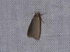 Lithosiini sp. (dhobern) Tags: 2018 china lepidoptera march xtbg xishuangbanna yunnan erebidae arctiinae lithosiini
