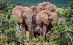 In the thicket... (Denis Roschlau Photography) Tags: addo elephants elefanten thicket bush lush mammal southafrica addoelephantpark africanelephant wildlife safari nature trunk tusk outdoors wild sanparks herd family green