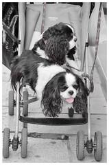 Les Météores (Jean-Luc Léopoldi) Tags: bw cutout noiretblanc tongue langue chiens poussette pushchair dogs twins jumeaux tournier