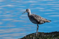 Long Legged Shorebird (MelRoseJ) Tags: oakland california unitedstates us nature birds sonyalpha sonyilca77m2 sal70200g a77ii alpha autofocus martinlutherkingjrregionalshoreline willet