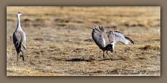 Wing-spread-forward-tilt (ctofcsco) Tags: 12000 20x 2x 7d 7dclassic 7dmark1 7dmarki 800mm canon colorado didnotfire digital ef2x ef2xii ef400mmf28liiusm20x eos eos7d esplora explore 2018 alamosa birds cranes explored geo:lat=3745997671 geo:lon=10614014486 geotagged image landscape migration montevista montevistanwr nationalwildliferefuge nature northamerica photograph picture sanluisvalley sandhillcrane sandhillcranefestival spring wildlife wwwmvcranefestorg zinzer extender f63 flashoff iso200 photo pic pretty renown shutterspeedpriorityae spot supertelephoto teleconverter telephoto unitedstates usa bird animal grass